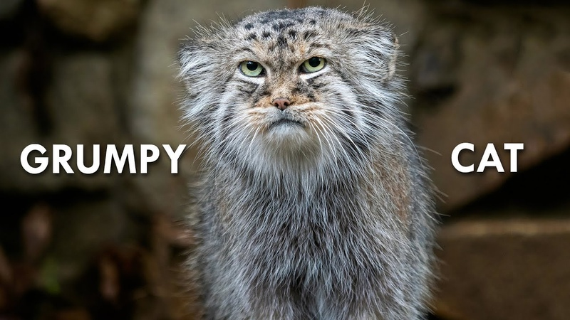 Pallas's Cat The Original Grumpy Cat