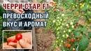 ЧЕРРИ СТАР F1 ПРЕВОСХОДНЫЙ ВКУС И АРОМАТ ПОМИДОРА ЧЕРРИ 01 10 2018