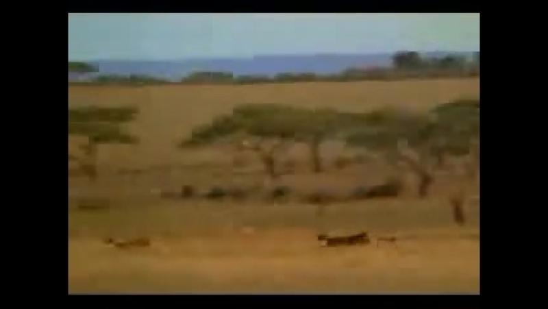 мужик обогнал гепарда