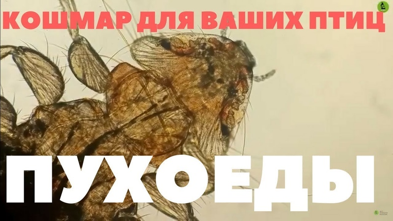 ПухоедыMenopon gallinae (КОШМАР ДЛЯ ВАШИХ ПТИЦ!)