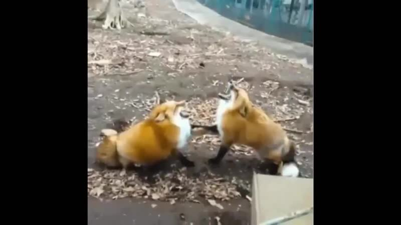 лисы мутят