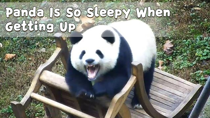 Panda Is So Sleepy When Getting Up | iPanda
