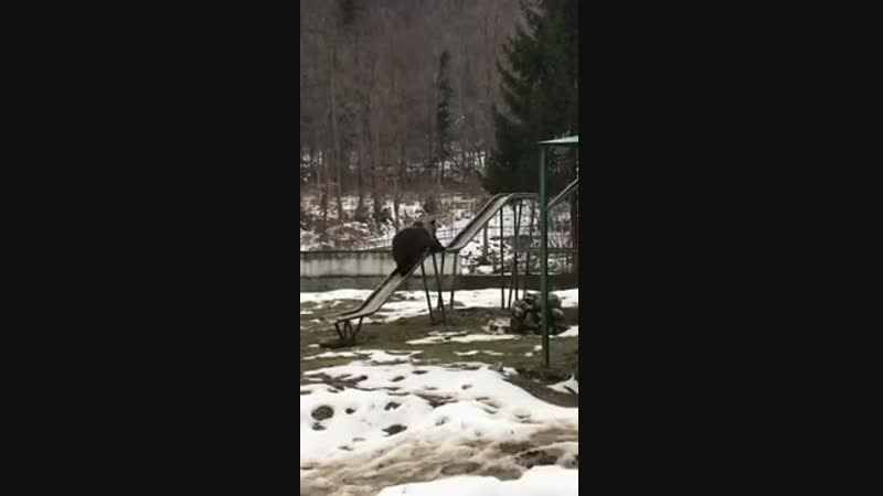 Bear Rides Down Slide Backwards