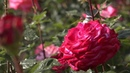 ВНикитском ботаническом саду проходит фестиваль цветов. Новости. Первый канал