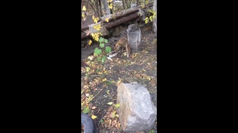 Лиса в Новосинеглазово