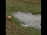 Пара гусей защищает детёнышей от лисы.