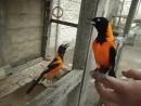 Птички пересмотрели СпанчБоба