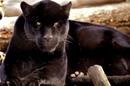 1853. Пантеры В мире животных