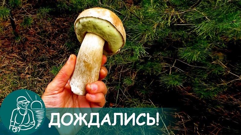 🍄 Какие собираем грибы в сосновом лесу в октябре после длительной засухи