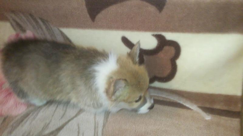 Вельш корги пемброк Мишка кобель