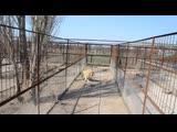Львица Миледи вынесла львенка в вольер со львом отцом ,Олег Зубков бежит спасать малыша