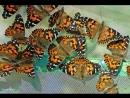 Африканские бабочки вида Адмирал в беломорской деревне