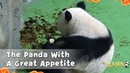 The Panda With A Great Appetite | iPanda