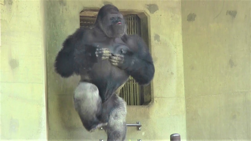 シャバーニ ドラミング50連 Gorilla drumming50beat Best Shabani