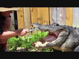 Brushing my alligators teeth
