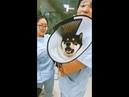 Shiba Inu inside a vet clinic