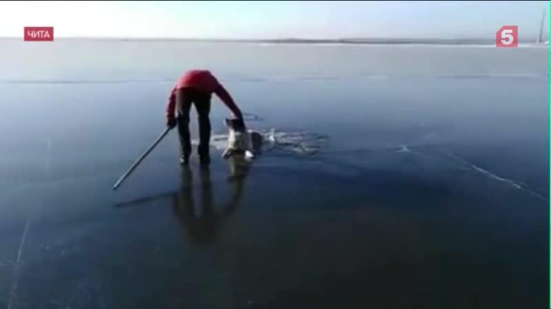 В Чите спасли собаку из ледового плена