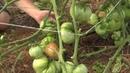 Урожай в сентябре в парнике под пленкой