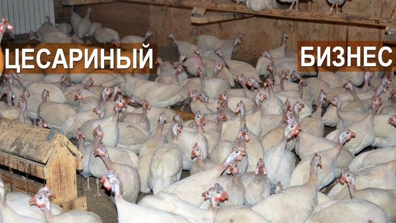 Фермер Кирилл Жданов Почему я решил заниматься разведением цесарки