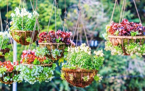 ОДНОЛЕТНИКИ В ПОДВЕСНЫХ КОРЗИНАХ Каждый любитель цветов, путешествующий летом по Европе, любуется подвесными цветочными корзинами, украшающими сады. В последние годы такие корзины появились у