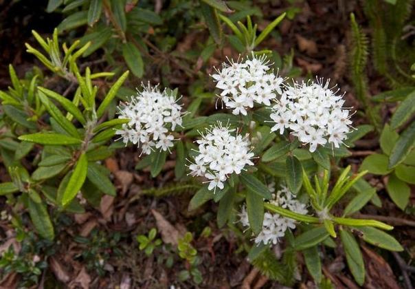 Багульник Багульник (Ledum) представляет собой уникальный дурманящий кустарник из семейства Вересковых. В научной аббревиатуре растение значится как «ледум», поскольку обладает сходством с