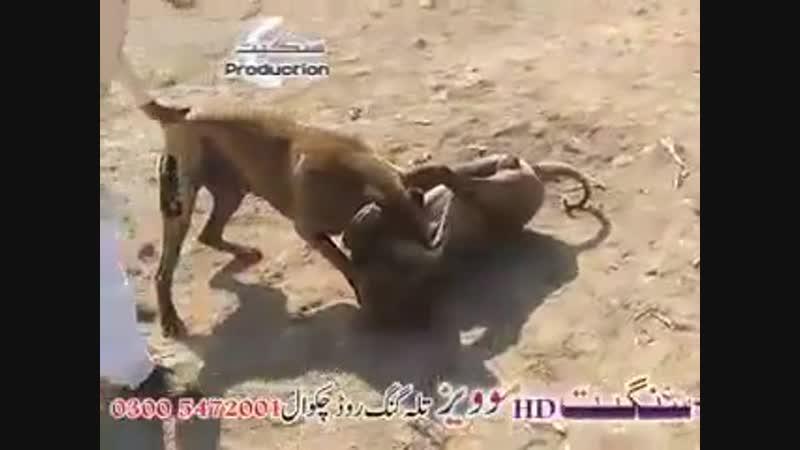 King Bettle Badmash vs Sialkoti 03 02 19 Match