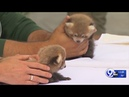 Rosamond Gifford Zoo reveals twin baby red panda cubs