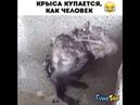 Крыса купается как человек