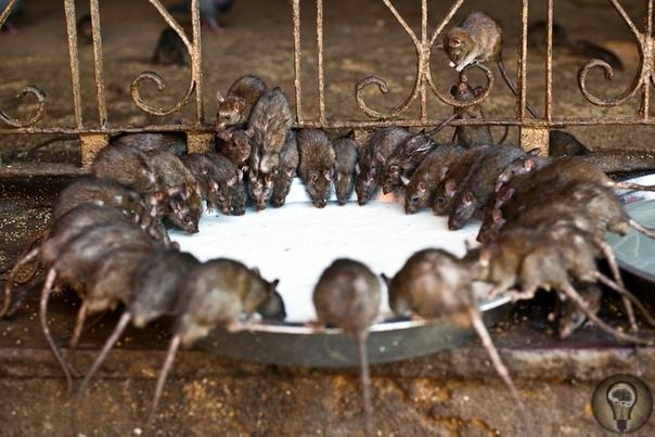 Необычные храмы: почему люди преклоняются перед крысами и змеями Известно, что для восточных религий, буддизма и индуизма характерно почтительное отношение к животным. Это вполне логично, ведь