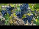 Как долго может висеть созревший виноград Виноград Низина и Надежда УКРНИИ. Виноград 2018.