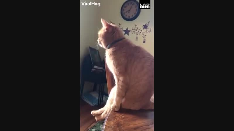 The way this cat sits is too much vk.comumorvoronezh