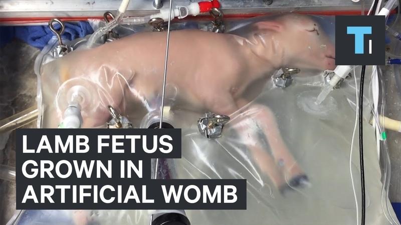 Scientists grow lamb fetus inside artificial womb