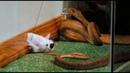 Чудаки! Полевая змея! Jackass