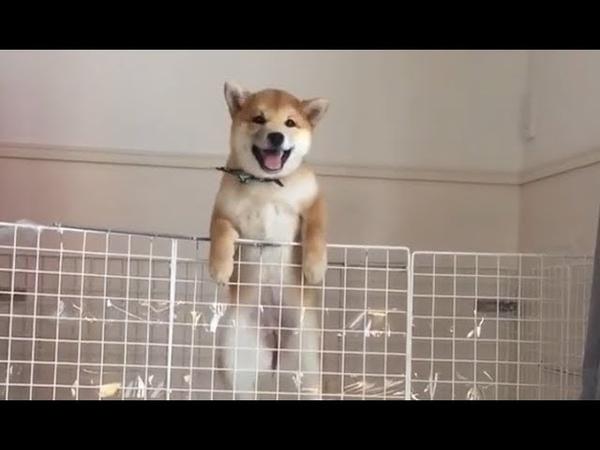 Brave shiba climbs the wall of hooman
