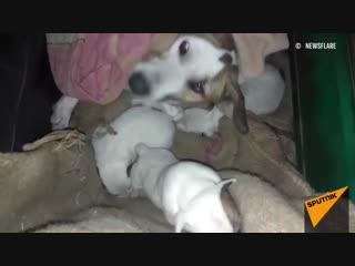 В Индии спасли собаку, пострадавшую от грабителей