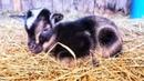 Nigerian Dwarf Baby Goat Update from the Rocking C Homestead