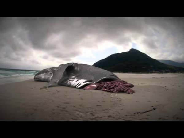 Megalodon The Monster Shark Lives Whale Attacked by Megalodon