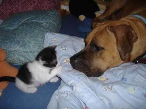 Первая встреча кота (кошки) и собаки. Смешные котята и собаки . Видео