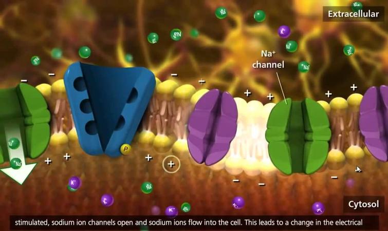 Nerve Impulse Molecular Mechanism [3D Animation]