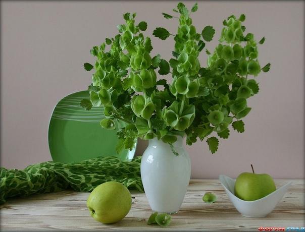 МОЛЮЦЕЛЛА Молюцелла гладкая, или ирландские колокольчики (Molucella laevis) довольно редкое, но очень декоративное и неприхотливое однолетнее растение семейства яснотковые. Молюцелла это