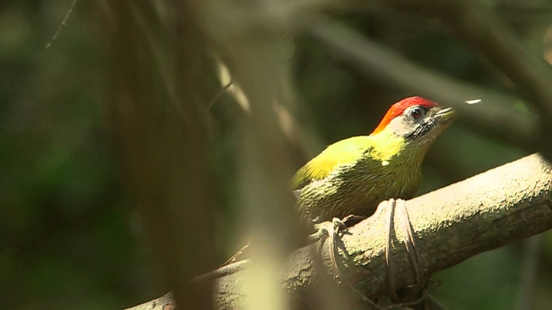 Laced woodpecker / Сетчатобрюхий зелёный дятел / Picus vittatus