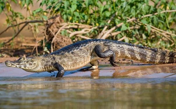 Разница между кайманом и крокодилом Кайманы и крокодилы являются представителями отряда Крокодилов. У них схожее строение тела, подобные повадки и привычки. Но именно кайманы немного отличаются
