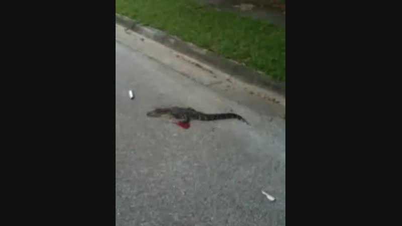 Ядовитая змея и мертвый молодой аллигатор на дороге