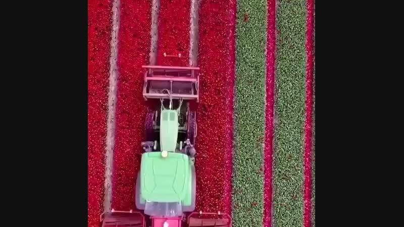 Голландия Қызғалдақдактар тюльпаны