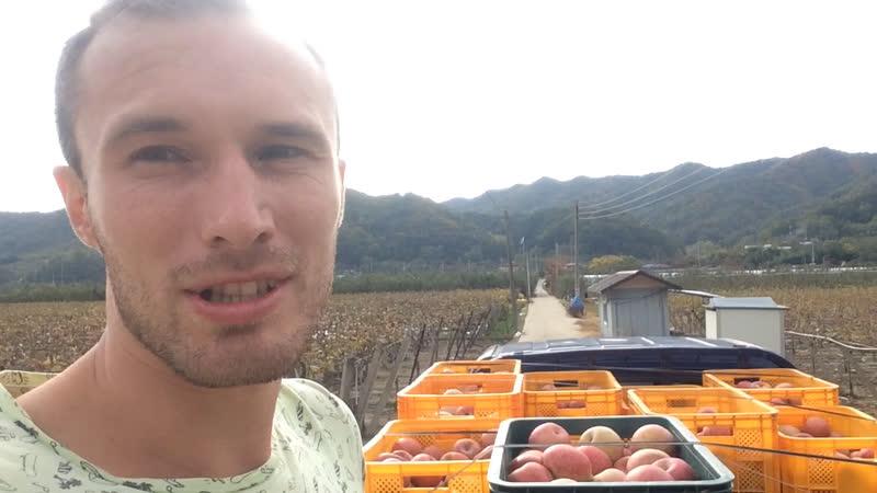 Работа на яблоках в Корее