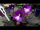 Фиалки сошли с ума Массовое цветение моей коллекции Шапочное цветение Обзор сорта Панакота