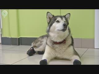 Ампутировали лапы, но сохранили жизнь. История чудесного спасения собаки уникальной породы