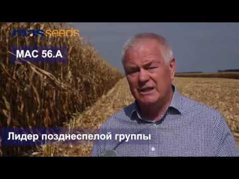 MAS Seeds - гибрид кукурузы МАС 56.А