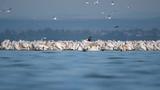 Pink Pelicans Lake Vaya Bulgaria