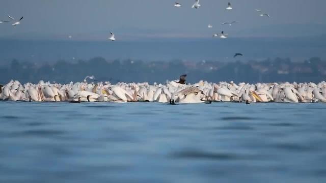 Pink Pelicans / Lake Vaya / Bulgaria